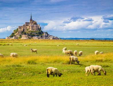 The sheep of Mont Saint Michel and its bay