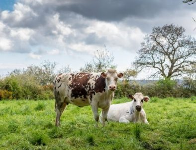 The cows of Normandy